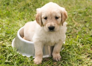 Yellow Lab puppy sitting in his water dish.