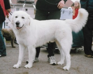 Adult Maremma Sheepdog like Stella, who had 17 puppies