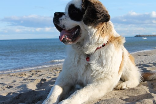 St. Bernard (dog) at the beach.