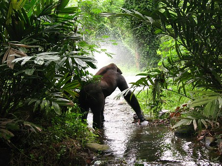 Gorilla in the jungle standing in a river looking at sunlit mist.