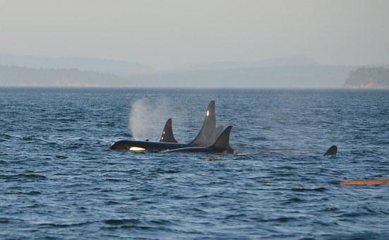 Killer Whale pod in ocean