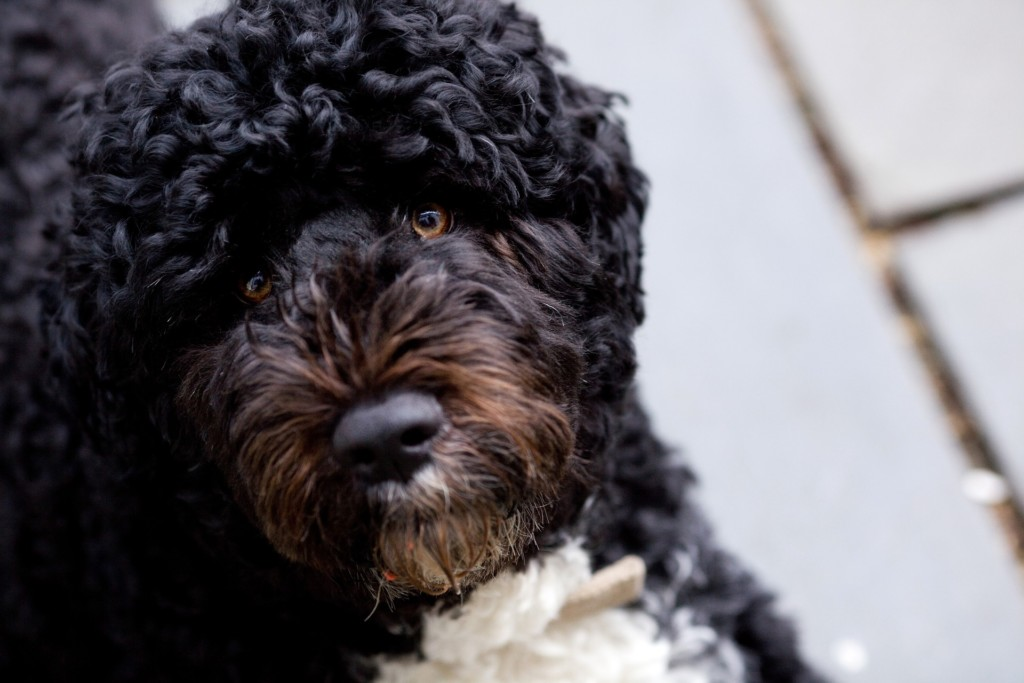 Black and White Portuguese Water Dog - Bo Obama look-a-like.