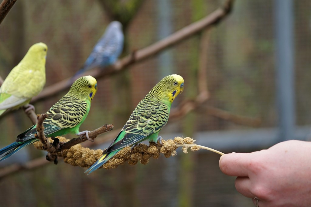 Budgie Parakeets - blue, yellow, 2 yellow, green and blue