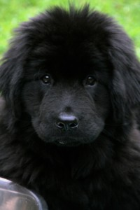 Young black Newfoundland.