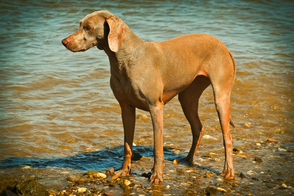 Weimaraner at the beach on the shore.