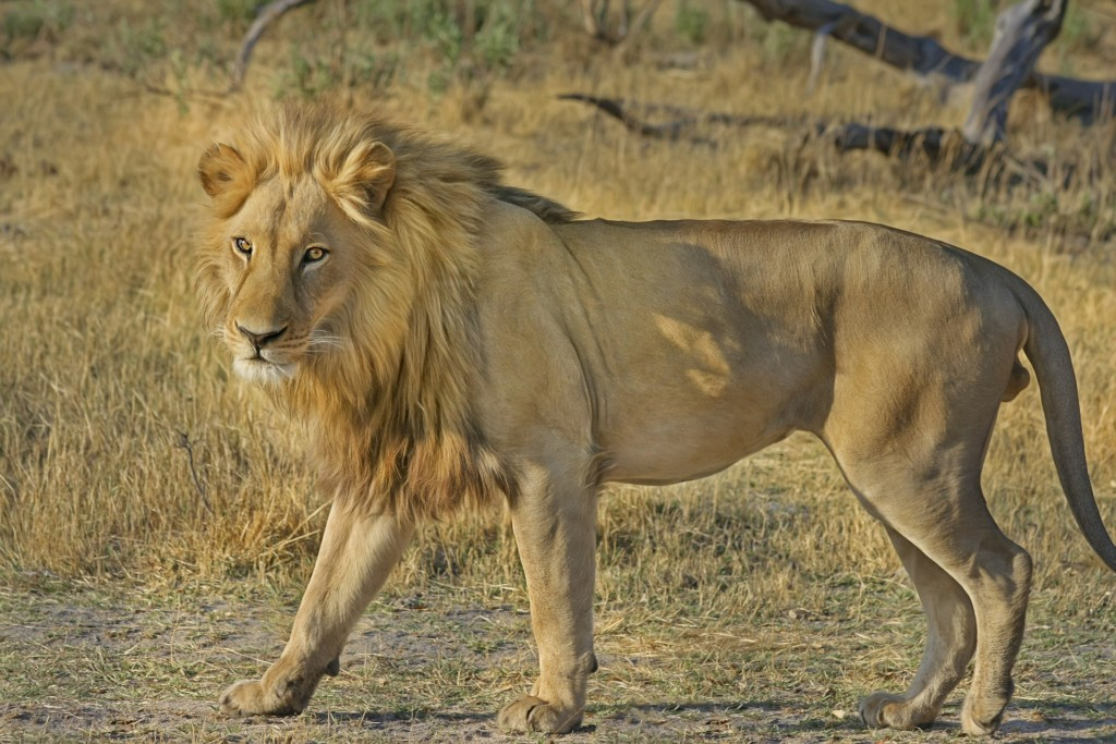 Golden brown, male lion with full mane.