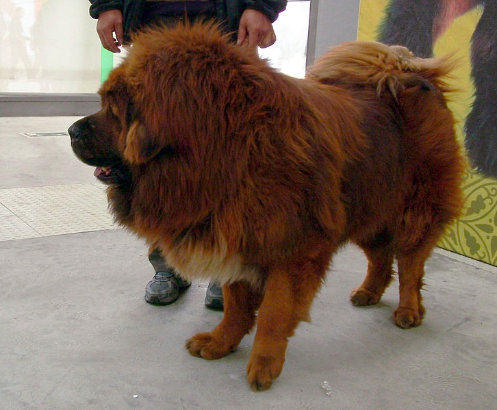 Zangao, a red Chinese Mastiff.  Photo taken March 2008 by Yeti (Public Domain)