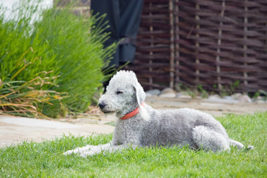 A white Bedlington Terrier, sporting a light pink collar, relaxing on the grass.
