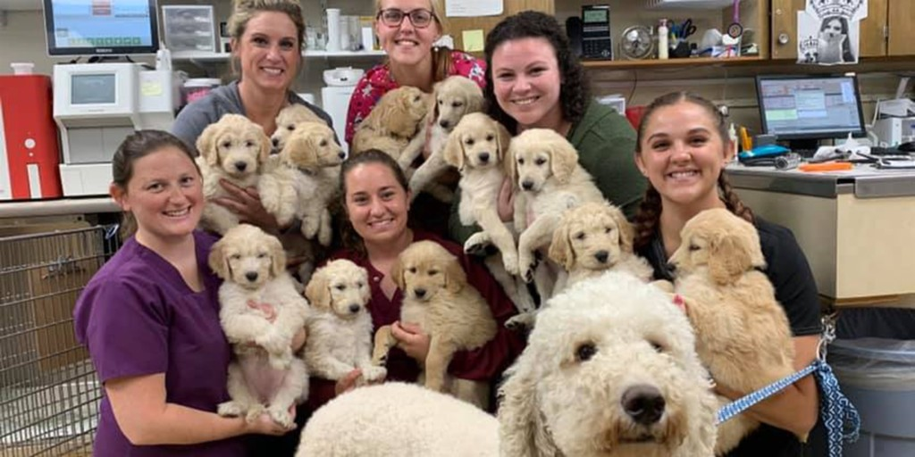 Litter of 12 Goldendoodles with doctor and nurses at Midland Animal Clinic
