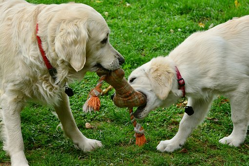 "Goldens playing ""Tug 'o War"""