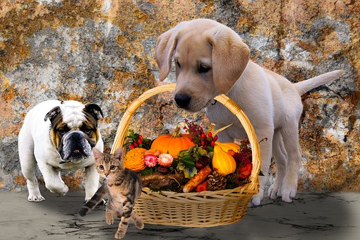 Bulldog accompanying Lab carrying a basket of vegetables
