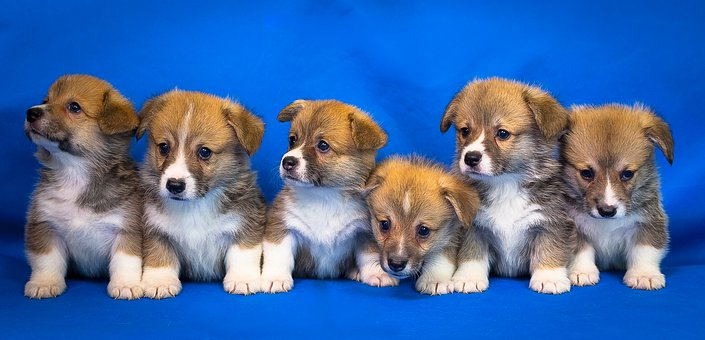 6 Welsh Corgis