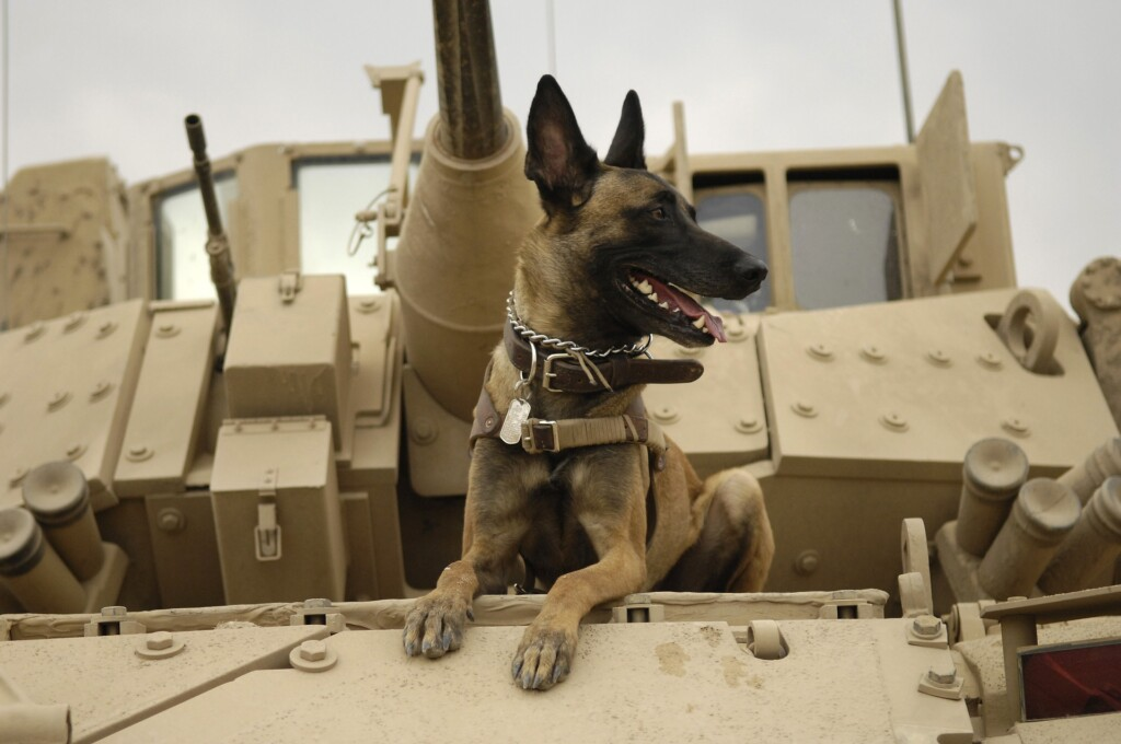 Brown and Black GSD on a Tank